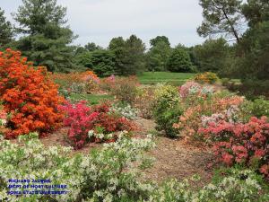 Azalea shrubs in bloom