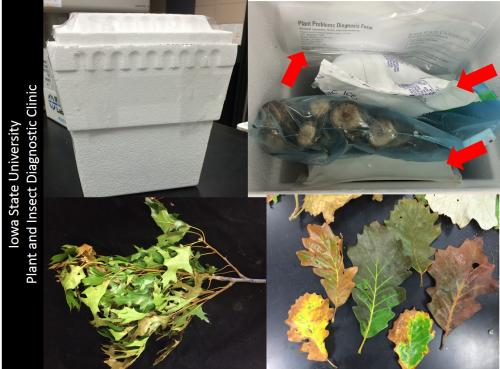 Oak wilt sample and packaging example. Top left Styrofoam cooler. Top right, note the icepack (red arrows) on each side of the branches in the bag. Note submission form filled and enclosed in a separate bag. Bottom pictures, please remember to include leaves samples.