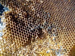 Close Up Look at Winter-killed Bee Brood. Photo by Gary Koehler
