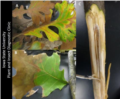 wilt on the red oak group (A) and wilt on the white oak group (B). Discoloration under the back on vascular tissue (sapwood) on the branches (C).
