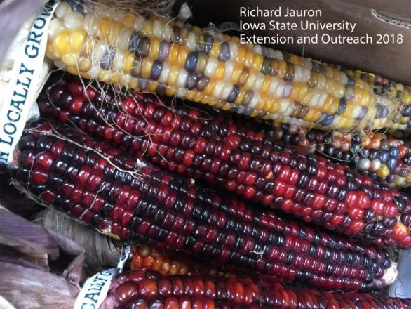 Several ornamental corn ears ranging in various colors from red, brown and yellow.
