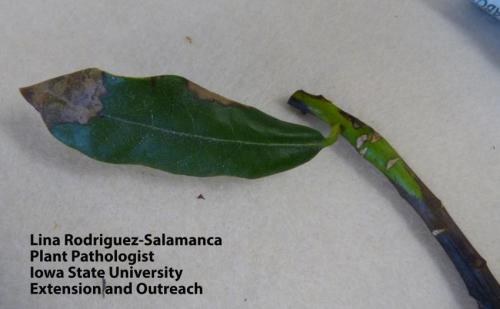 Phytophthora ramorum (Sudden Oak Death) symptoms in rhododendron leaves