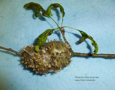 Horned oak gall