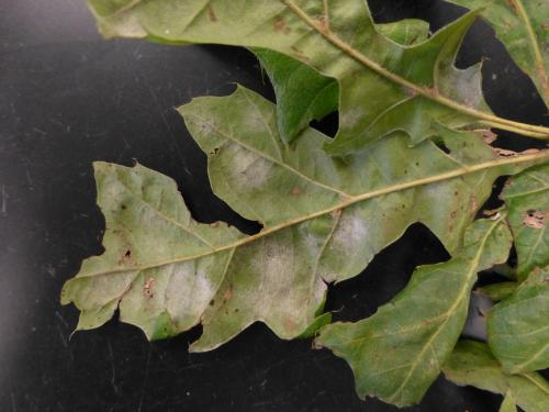 Image of powdery mildew on oak leaves
