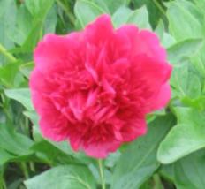 image of Paeonia 'Peter Piper'
