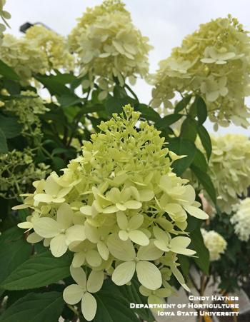 Bloom of panicle hydrangea limelight