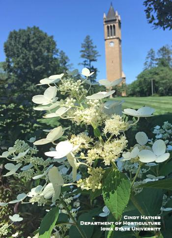 Panicle hydrangea plant in front of ISU Campanile