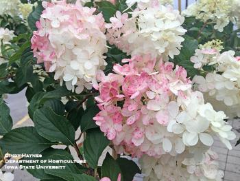blossoms of hydrangea Vanilla strawberry
