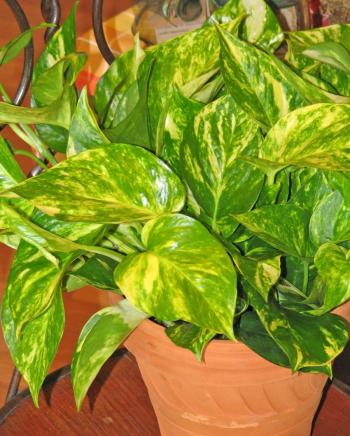variegated green vining houseplant called pothos