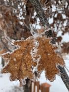 Oak with frost on leaves