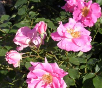 Image of Rosa Carefree Beauty™ ('BUCbi')