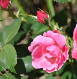 Image of Rosa Knock Out® Series Pink Knock Out ('RADcon')