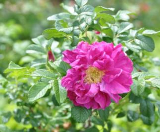 image of Rosa rugosa 'Ames'