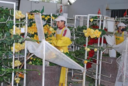 A man inspecting roses being readied for auction.