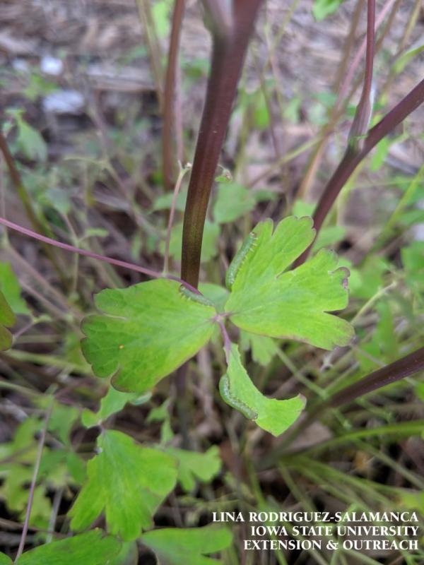 Note the sawfly larvae eating the edges of the columbine leaves.