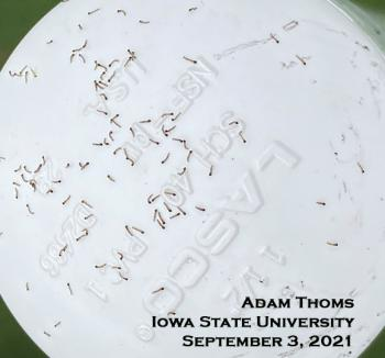 very tiny fall armyworm caterpillars crawling on white plastic cap
