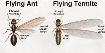 Comparison of winged ants and winged termites