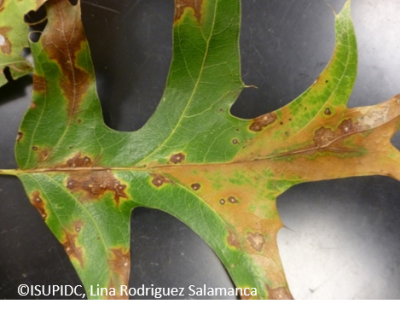 Tubakia leaf spot in black oak
