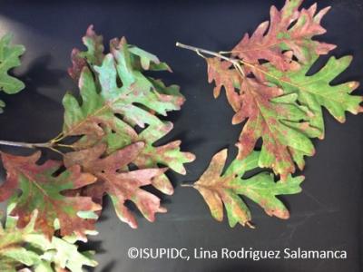 Tubakia leaf spot in white oak