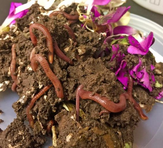 A sample of vermicomposting worms