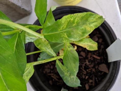 A plant with symptoms of a virus. Yellowing leaves.