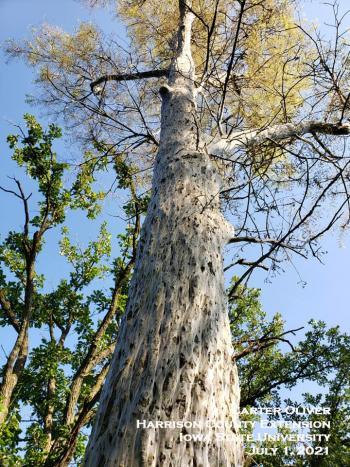 """webbing bark lice create a """"silken tree wrap"""""""