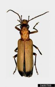 wharf borer beetle is one-half inch long, tannish-brown with dark wing tips