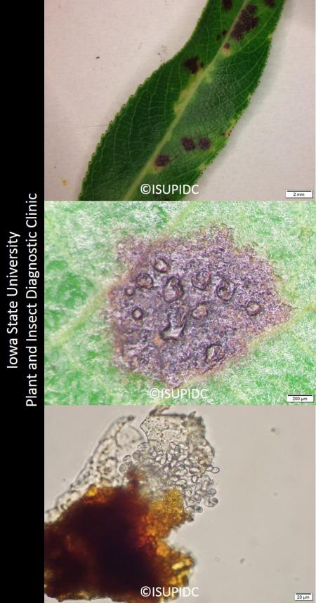 Symptoms and signs of willow leaf spot cause by the the fungi Monostichella salicis
