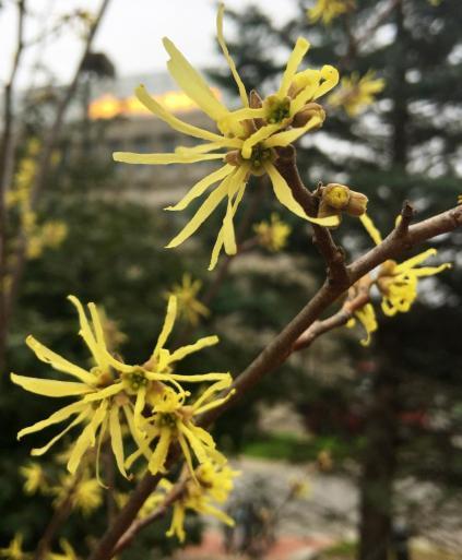 A photo of witch hazel flowers.