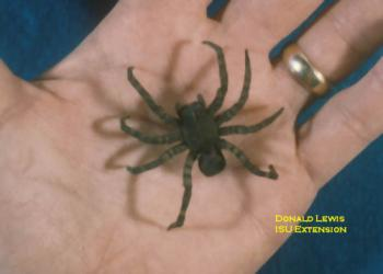 Wolf spiders are large, brown and slightly hairy