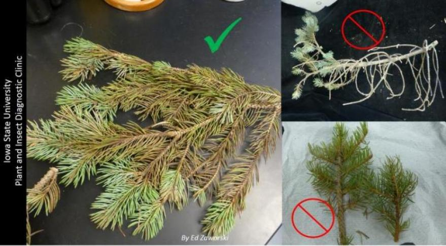 Conifer Sampling do and don't