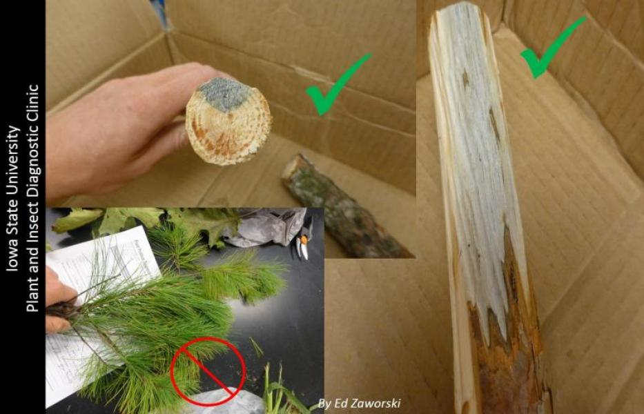 Conifer samples