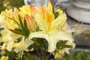 picture of light yellow azalea flowers