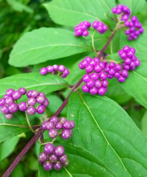 picture of beautyberry fruits
