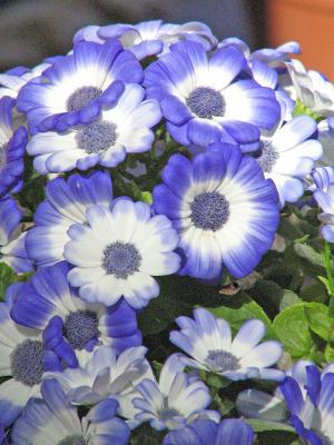 blue and white daisy-like flowers of cineraria