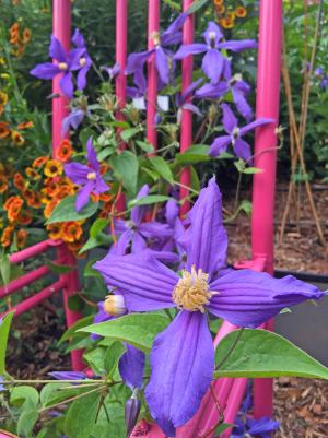 picture of purple clematis flower climbing on pink chair