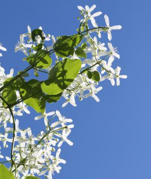 Picture of the white flowers of sweet autumn clematis with blue sky behind