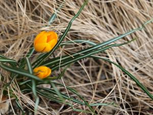 yellow crocus flowers appearing in dormant ornamental grass