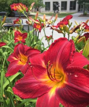 close up of red and gold daylily bloom