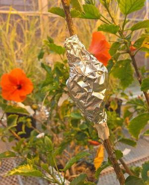 picture of foil wrapped stem of hibiscus