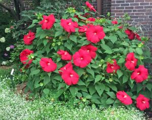 picture of hardy hibiscus with bright red flowers