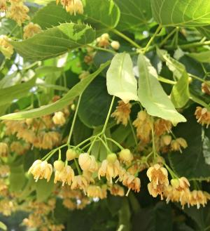 Picture of small cream colored linden flowers