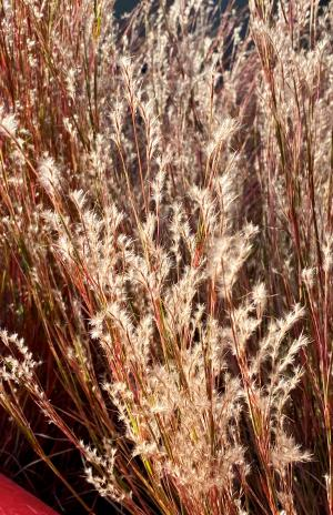 picture of little bluestem seed heads