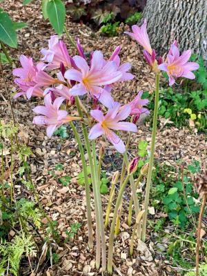 picture of pink flowers of magic lily