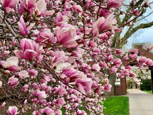 picture of pink magnolia flowers