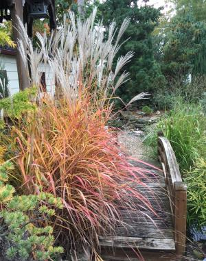 picture of Miscanthus purpurescens with reddish fall color