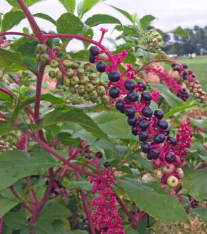 picture of purple pokeweed fruits on pink stems