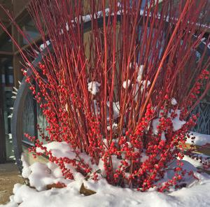 Picture of redtwig dogwood
