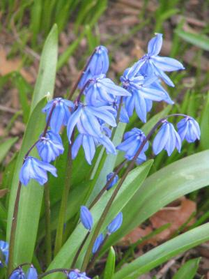 picture of blue scilla or squill flowers