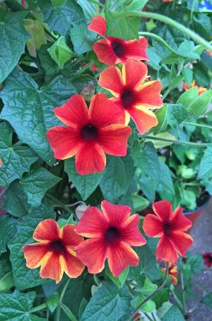 picture of black-eyed susan vine flowers